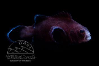 Amphiprion ocellaris - Midnight Clownfisch