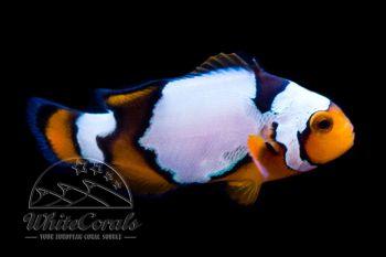 Amphiprion ocellaris x percula - Snow Onyx Clownfisch