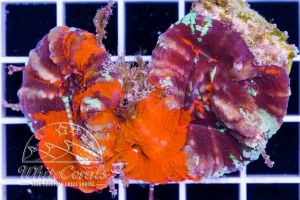 Ultra Scolymia Multicolor Multipolyp