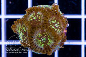 Zoanthus Gold Spark