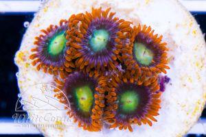 Zoanthus Fiji Fire