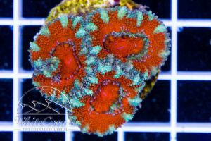 Acanthastrea Bloody Snow
