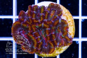 Ultra Acanthastrea Rainbow Ring