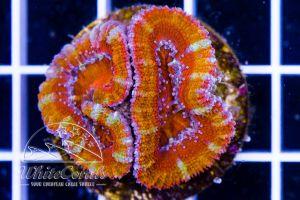Ultra Acanthastrea Rainbow Orange