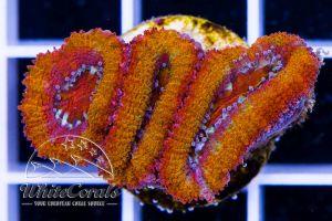 Ultra Acanthastrea Ruby Rainbow