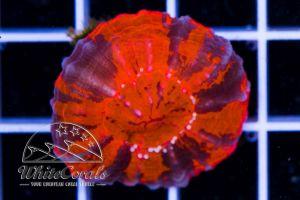 Ultra Scolymia Red and Black Nano