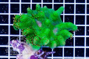 Lobophytum Green