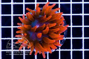 Ultra Entacmaea quadricolor Super Red