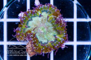 Rock Anemone Greenring