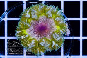 Rock Anemone Yellow