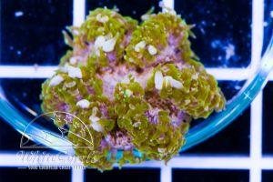 Rock Anemone Green