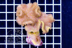 Sarcophyton sp. Yellowish