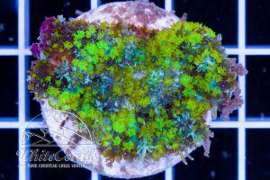 Proto Bounce Mushroom Nuclear Green
