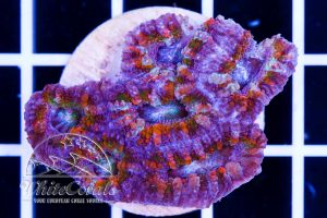Ultra Acanthastrea Pastel Rainbow