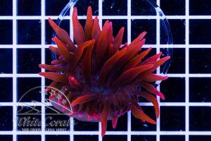 Ultra Entacmea quadricolor Super Red (NZ)