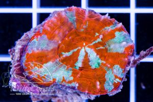Ultra Scolymia Red Frost