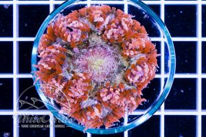 Rock Anemone Red