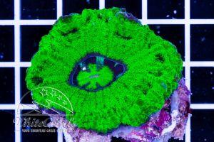 Ultra Crocodile Island Scolymia Green Neon