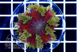 Ultra Rock Anemone Red