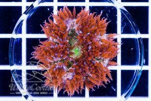 Ultra Rock Anemone Tricolor