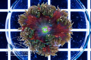 Rock Anemone Red and Green