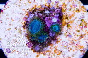 Zoanthus Aussie Blue Pansies