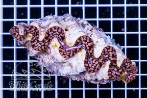 Tridacna maxima Teardrop 11-14 cm