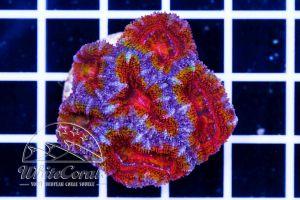 Ultra Acanthastrea Rainbow Red
