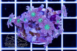 Clavularia viridis