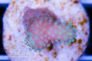Stylophora sp. Bicolor