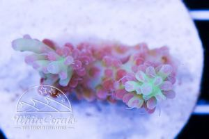 Acropora microclados Strawberry Shortcake