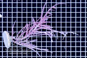 Pinnigorgia sp.