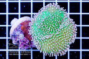 Sarcophyton sp. Aussie Green