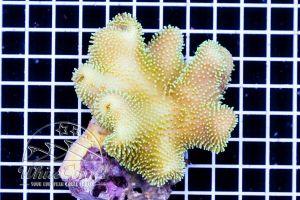 Sarcophyton elegans Fiji Yellow
