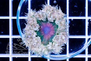 Rock Anemone Multicolor