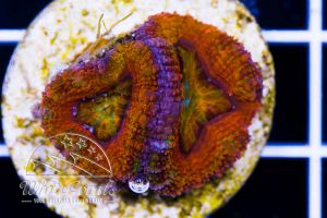 Ultra Acanthastrea Rainbow Glow