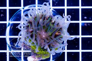 Ultra Rainbow Bottom Anemone