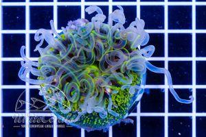 Ultra Rainbow Bottom Anemone