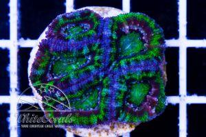 Acanthastrea Green Lagoon
