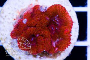 Ultra Acanthastrea Red Velvet