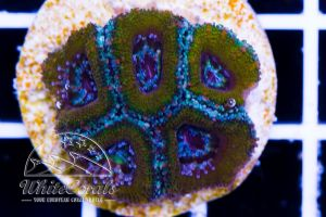 Ultra Acanthastrea Gold