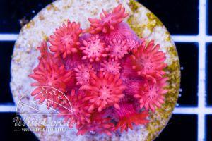 Ultra Goniopora Pink