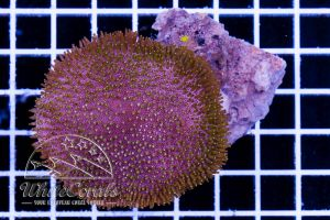 Sarcophyton sp. Greenish Polyps
