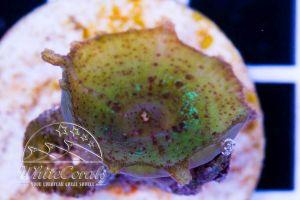 Discosoma neglecta (rare)
