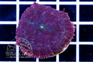 Rhodactis Purple