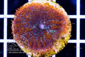 Rhodactis Bullseye Orange