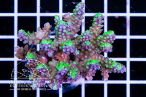 Acropora chesterfieldensis