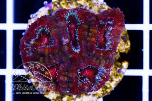 Acanthastrea Red Striped