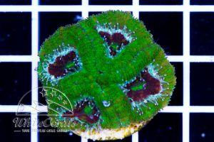 Acathastrea Green Velvet