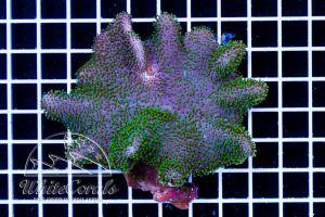 Lobophyton sp. Green Polyp